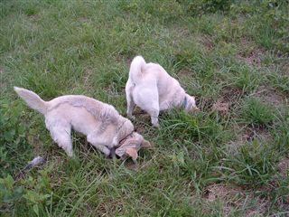 穴掘り名犬ピース