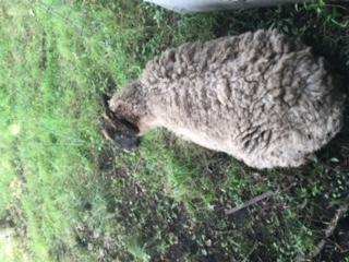 羊のチャコちゃん